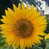 sunnyflow