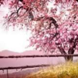 cherrybloossom09