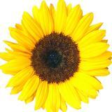 thesunflowerph
