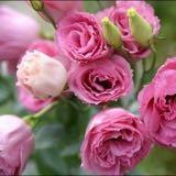 pinkkie