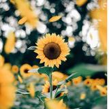 sunflowah