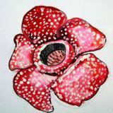 rafflesyia