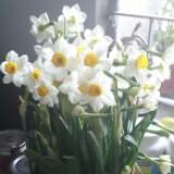 daffodil18