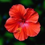 hibiscusire