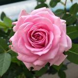 rosefleamarket