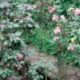 keyshaaulia