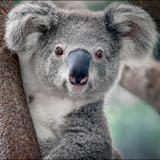 koala_88