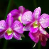 orchid78
