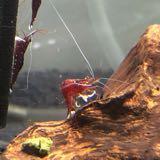 dancingshrimplets