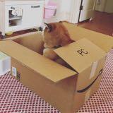 boxshiba