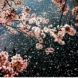 a_sakura