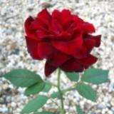 roseyshop