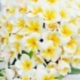 frangipanilily
