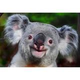 jason_koala