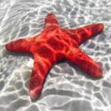 starfishss