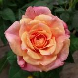 rosehut