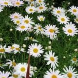 daisywhite11