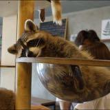 raccoon.is.good