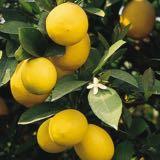 lemoncitrus0505