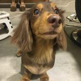 dachshund_love