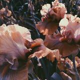rosetum