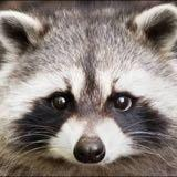 raccoon_girl