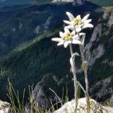 edelweiss1594