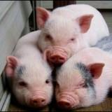 porky.pig