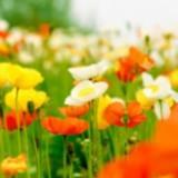 springpoppies