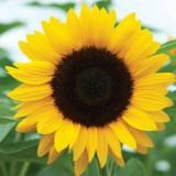 sunflower1234567890