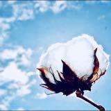 cottonlady_secret