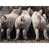 lovely_pig
