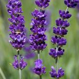 prelove_lavender