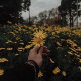 daisyflowers_
