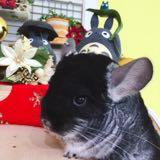 the.chinchillas.trove