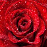 rose_1991