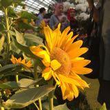 sunflower4u