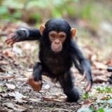 littlechimpanzee