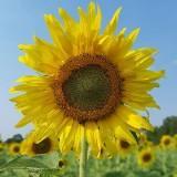 sunflowerbea