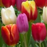 tulip909