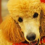 oodle_doodle_the_poodle