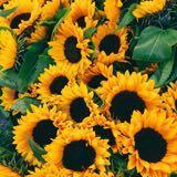 sweetestsunflower
