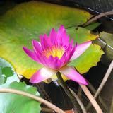 lotus201901