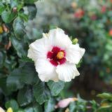 hibiscustea