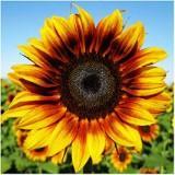 sunflowerssssss
