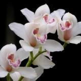 orkidputeh