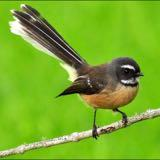 thefantail