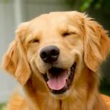 lassiedog