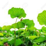lotus_leaves