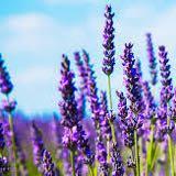 lavender87